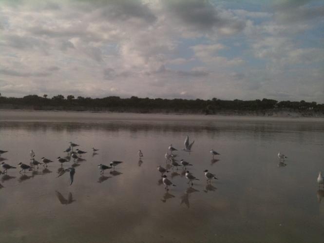 Laughing Gulls, Hanna Beach