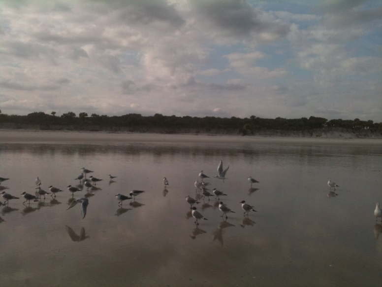 Laughing Gulls, Hanna Beach