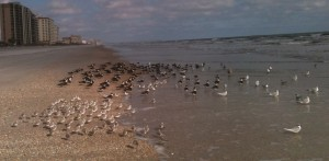 Black Skimmers and sea birds pic