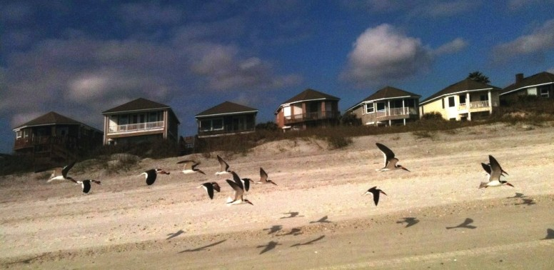 Black Skimmers pic